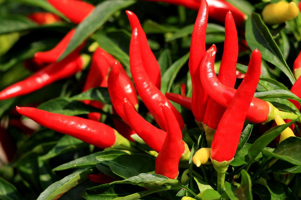 """Résultat de recherche d'images pour """"le piment de Cayenne"""""""
